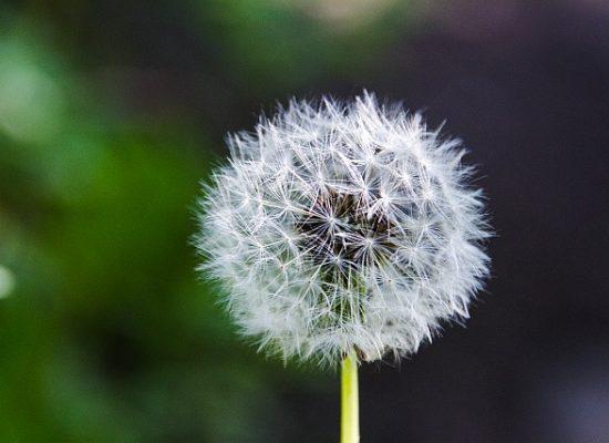 Dandelion-clock-mindfulness