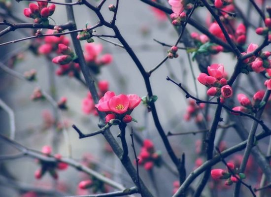 pink blossom buds